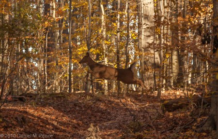 Doe Jumps the Trail