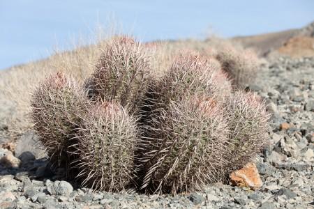 Cactus, Titus Canyon