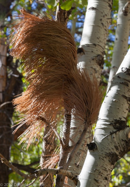 Two Aspens Seek the Attention of a Redhead