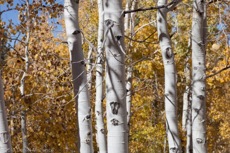 Aspen Grove Near Virginia Lakes Road
