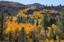 Lundy Canyon Aspens