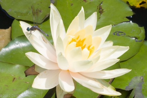 Dragonfly on a Water Lily