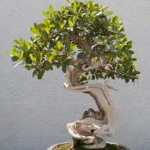 Bonsai Grace