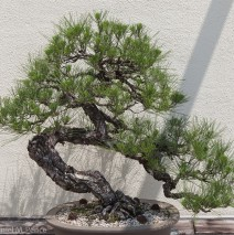 Bonsai Curtsey