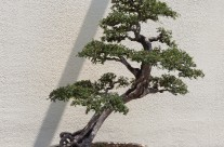 Bonsai with the Shadow