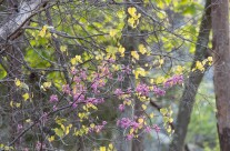 Red bud blossoms in the woods