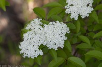 White blossoms on Olmsted Island