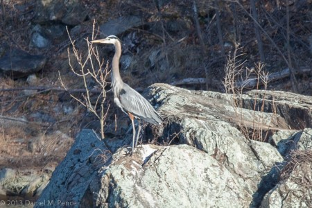 Great Blue Heron, C&O Canal at Widewater