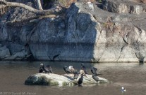 Cormorants, C&O Canal at Widewater