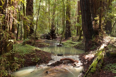 Azalea Creek in the Redwoods