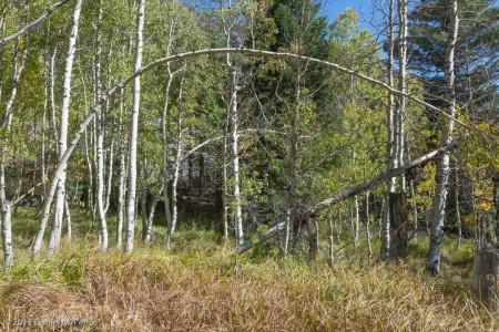 Aspen Trees in the Meadow